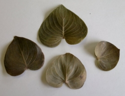 Curacao leaves natural (10ks)